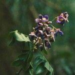Callerya neocaledonica