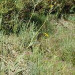 Hieracium buglossoides