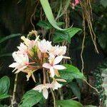 Epidendrum spp.