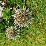 Acaena anserinifolia