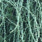 Adenia globosa