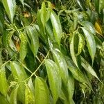 Miconia minutiflora