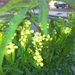 Tagetes minuta Leaf