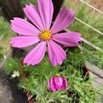 Cosmos bipinnatus 花