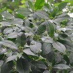 Psychotria nervosa