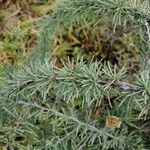 Asparagus albus Leaf