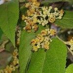 Guazuma ulmifolia