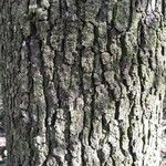Quercus robur Bark