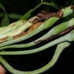 Asplundia euryspatha