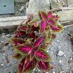 Plectranthus scutellarioides عادت