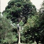 Hymenaea verrucosa