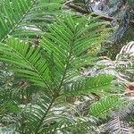 Torreya nucifera