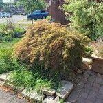 Acer palmatum Levél