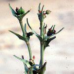 Euphorbia retusa