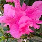 Hibiscus fragilis