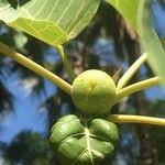Ficus abutilifolia