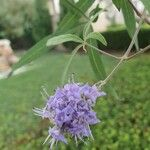 Vitex agnus-castus 花