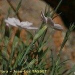Dianthus gyspergerae