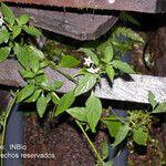 Solanum nigrescens
