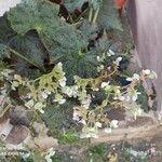 Begonia strigillosa