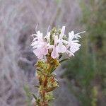 Rosmarinus officinalis Flor