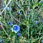Cichorium intybus Flower