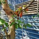 Ficus racemosa Fruit