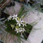 Allium tuberosum Cvet