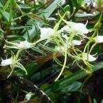 Angraecum expansum