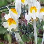 Linaria laxiflora