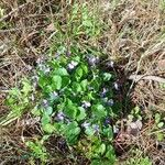 Viola odorata Flower