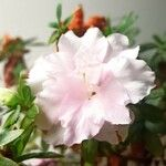 Rhododendron simsii Fleur
