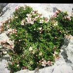 Prunus prostrata
