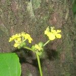 Esenbeckia pentaphylla