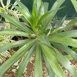 Dracaena angustifolia