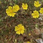 Fumana thymifolia
