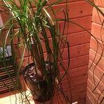 Nolina recurvata Leaf