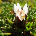 Werneria pygmaea