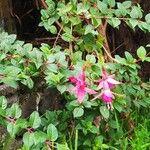 Fuchsia magellanica Blomst