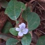 Barleria ventricosa Flower
