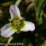 Damasonium polyspermum