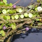 Guettarda crispiflora