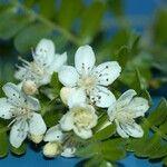 Osteomeles anthyllidifolia