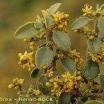 Rhamnus myrtifolia