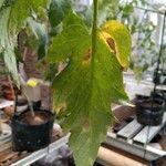 Solanum lycopersicum Blad