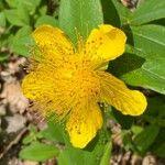 Hypericum calycinum Fleur