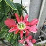 Passiflora racemosa