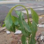 Porophyllum ruderale Foglia