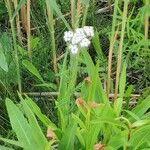 Valeriana dioica Flor