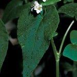 Reynoutria sachalinensis